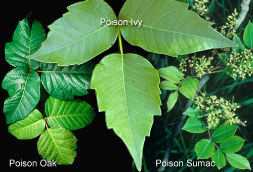 contact dermatitis can be caused by skin conditions such as poison ivy